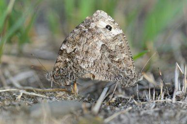 Rostbinde oder Ockerbindiger Samtfalter (Hipparchia semele)
