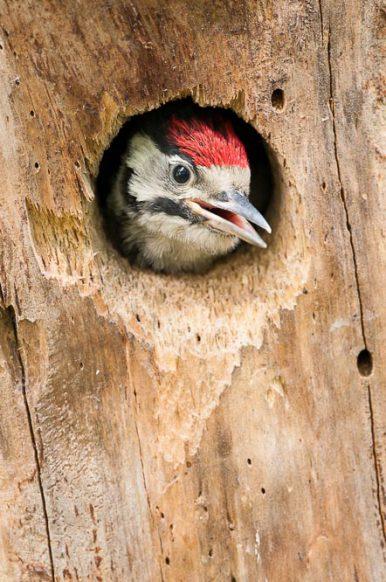 Junger Buntspecht schaut aus seinem Kinderzimmer.