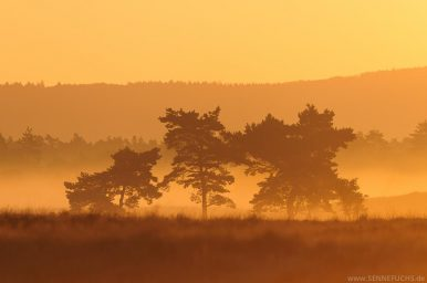 Senne-Kiefern im Sonnenaufgang