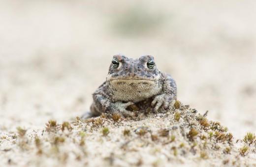 Amphibien und Reptilien - Kreuzkröte (Bufo calamita)