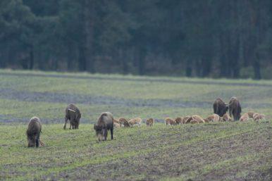 Wildschweine in der Senne
