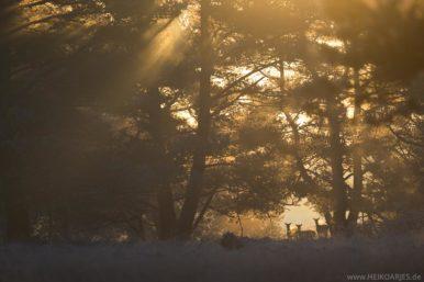 Damwild im Sonnenaufgang in der Senne